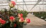 Спрос на свежие розы из отечественных теплиц вырос