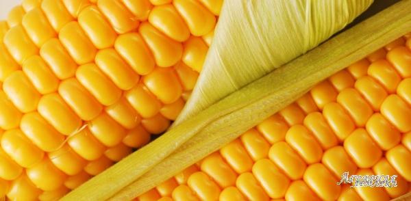 Гибриды семян подсолнечника кукурузы сахарной свеклы