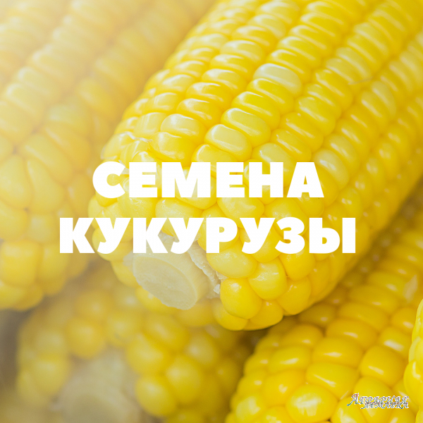 Продам семена кукурузы на посев