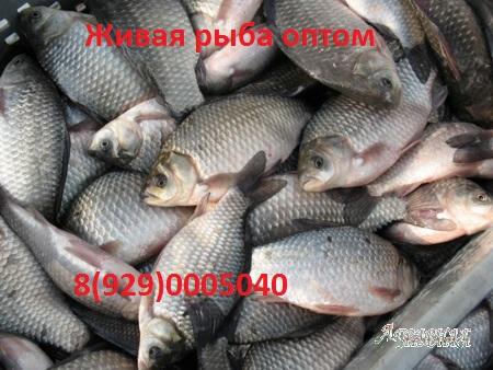 Сдать рыбу речную оптом барнаул