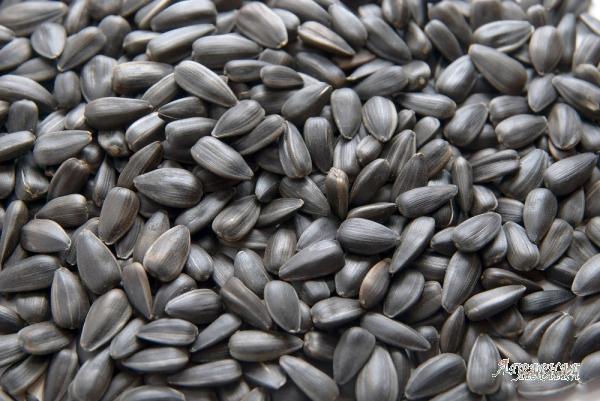 Семена подсолнечника на посевную кампанию 2018 года