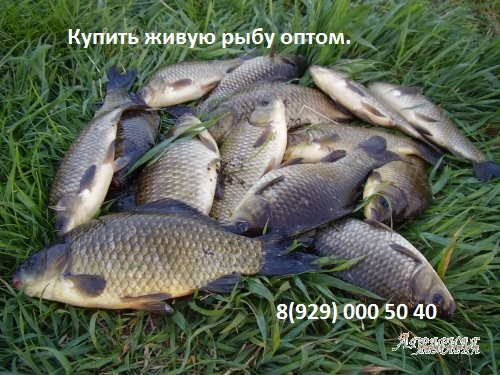Куплю речную рыбу оптом.  Карп.  Карась.  Толстолоб.  Щука.