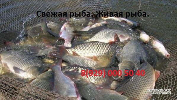Свежая,  живая рыба.  Куплю оптом щуку.