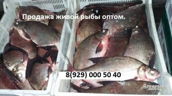 Живая рыба.  Свежая рыба.  Продажа оптом рыбы.
