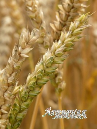 """Семена озимой пшеницы сорт """" Гурт"""""""