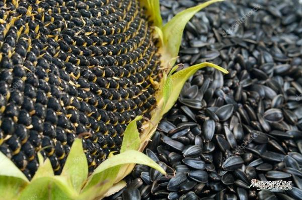 Семена подсолнечника крупноплодного СПК
