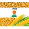 Семена кукурузы производителя «КВС»