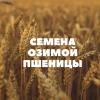 Продам семена озимой пшеницы.