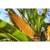 Семена кукурузы сорта Краснодарский 194,  Краснодарский 291,  Краснодарский 385 и гибриды