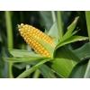 Кукуруза 1 класса