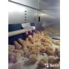 Инкубационное яйцо и цыплята.  Линия Генофонд