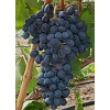 Краснодарский виноград