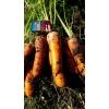 Морковь оптом от производителя.