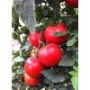 Семена томата Барин F1 СеДеК