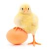 Услуги инкубирования 3 рубля яйцо