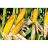"""Продаем семена кукурузы фирм """"Монсанто"""" и """"Пионер"""""""
