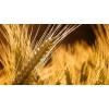 Пшеница оптом