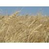 Пшеница 3, 4, 5 класса