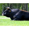 Закупаем быков и коров на убой,  Самара