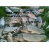 Рыба пресноводная,  толстолобик,  карп,  купить оптом.