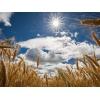 Семена пшеницы озимой  :  Алексеич,  Гром,  Юка,  Таня,  Гурт