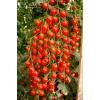 Семена томата черри Волшебный каскад F1 СеДеК