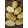 Семенной картофель КОЛЕТТЕ (элита,  суперэлита)  от СеДеК