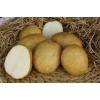 Семенной картофель ЛИДЕР (элита,   суперэлита)   от СеДеК