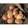Элитный семенной картофель Эволюшен РС1