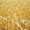 Закупаем пшеницу 3,  4,  5 класса