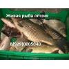 Живая рыба в Волгограде.  Куплю оптом рыбу.
