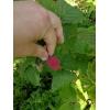 Ягоды свежие:      малина,      смородина