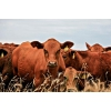 Закупаем  оптом крупно рогатый скот живым весом